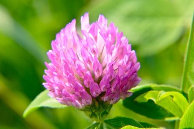 アカツメクサ花エキスの特徴とは?発毛効果と副作用について解説